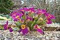 Primula vulgaris (S.lukas).JPG