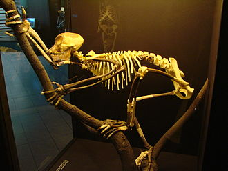 Evolution of primates - Reconstructed tailless Proconsul skeleton