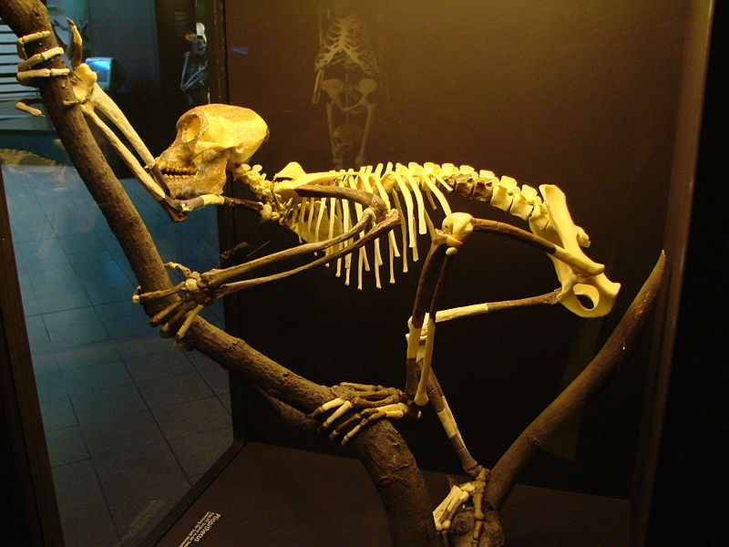 Tập tin:Proconsul skeleton reconstitution (University of Zurich).JPG