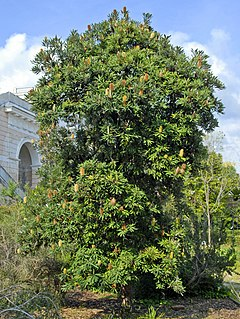 <i>Banksia serrata</i> A species of woody shrub or tree of the family Proteaceae native to the east coast of Australia
