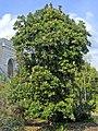 Proteaceae - Banksia serrata.JPG