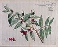 Protium serratum; fruiting branch, sections of fruit and con Wellcome V0042612.jpg