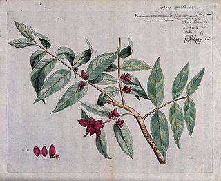 <i>Protium serratum</i> species of plant