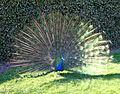 Proud as a Peacock.JPG