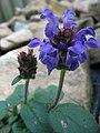 Prunella grandiflora - Encamp, Andorra.JPG