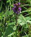 Prunella vulgaris (24971106226).jpg