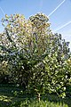 Prunus 'Amanogawa' at Myddelton House, Enfield, London, England 03.jpg