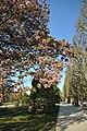 Prunus serrulata 'Hisakura' in the Jardin des Plantes of Paris 001.JPG