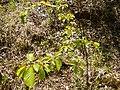 Prunus sp. (Rosaceae) 02.jpg