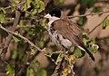 Pseudonigrita cabanisi -Buffalo Springs National Park, Kenya-8 (1).jpg
