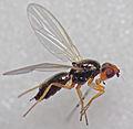 Psilid Fly (15331113746).jpg