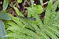 Psolodesmus mandarinus dorothea 24453170.jpg