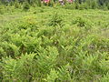 Pteridium aquilinum, Hargita.jpg