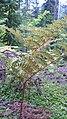Pteridium aquilinum var. pubescens 5.jpg