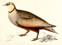 Yellow-throated sandgrouse