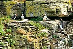 Puffins - Puffin Island Anglesey (20159545318).jpg