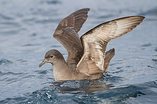 Short-tailed shearwater species of bird