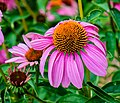 Purple Coneflower NBG LR.jpg
