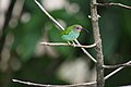 Purple Honeycreeper (Cyanerpes caeruleus) female (4096366396).jpg