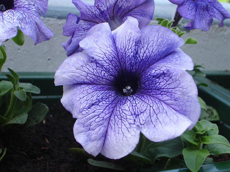 البتونيا الرائعة البتونيا 800px-Purple_Petunia