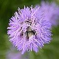 Purple bokeh (11496214546).jpg