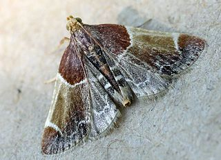 Pyralidae Family of moths