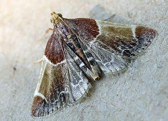 Pyralidae - Meal moth (Pyralis farinalis)