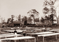 Queensland State Archives 2238 Arrowroot drying at Arrowroot Mill with workers and tables 1897.png