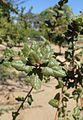 Quercus agrifolia kz2.jpg