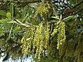 Quercus ilex0.jpg