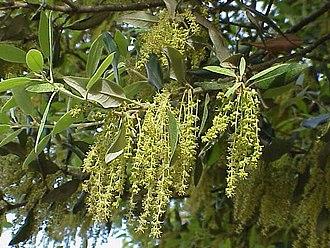Quercus ilex - Image: Quercus ilex 0