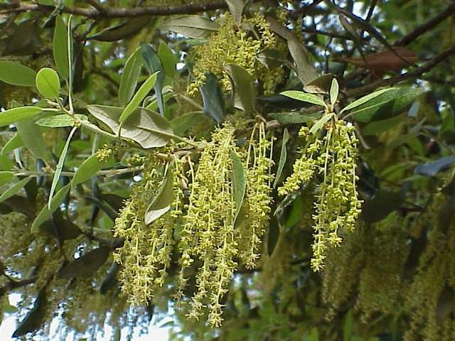 Quercus ilex0