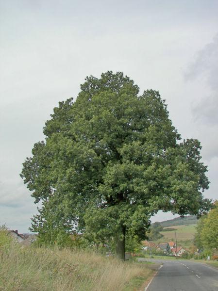 File:Quercus petraea 03.jpg
