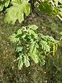 Quercus pubescens sl12.jpg