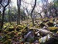 Quercus pyrenaica Habitat 2012-5-06 Valderrepisa SierraMorena.jpg