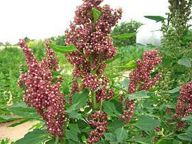 Quinoa Chenopodium quinoa.jpg