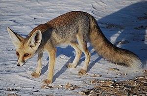 'Uruq Bani Ma'arid - Rüppell's fox is among the desert animals found in the 'Uruq Bani Ma'arid.