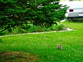 Rabbit in My Yard - panoramio.jpg