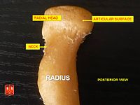 Radius, radial head - posterior view
