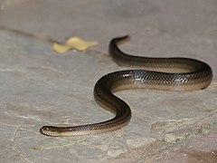Rainbow Mud Snake (Enhydris) in Bhavani Island.jpg