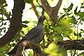 Rameron Pigeon.jpg