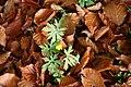 Ranunculus acris ENBLA04.JPG