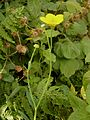 Ranunculus lingua006.jpg