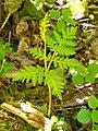Rattlesnake Fern (3818505878).jpg