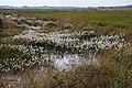 Recker Moor Eriophorum angustifolium 01.jpg