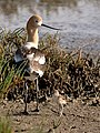 Recurvirostra americana -Palo Alto Baylands -chick and adult-8.jpg