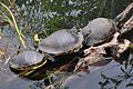 Red-bellied Turtles (8522329394).jpg
