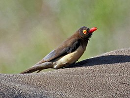 Red-billed Oxpecker RWD.jpg