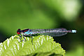 Red-eyed damselfly (Erythromma najas) male.jpg