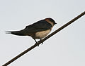Red-rumped Swallow (Hirundo daurica) in Anantgiri, AP W IMG 8714.jpg